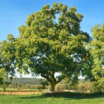 ¿Con qué árboles se relaciona Tauro?
